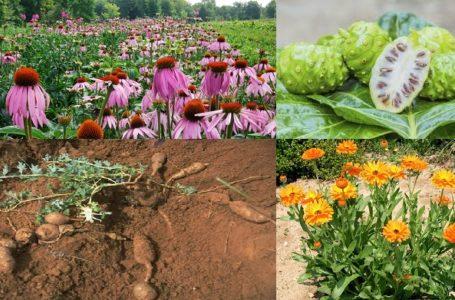 Santé/ trucs et astuces: Quelques plantes, anti-inflammatoires pour soulager le corps
