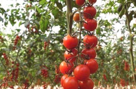 Trucs et astuces santé: Pourquoi consommer régulièrement de la tomate?