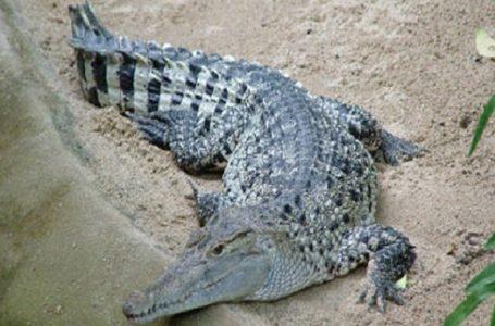 Guinée-Bissau/ des crocodiles s'emparent de la capitale par suite d'inondations