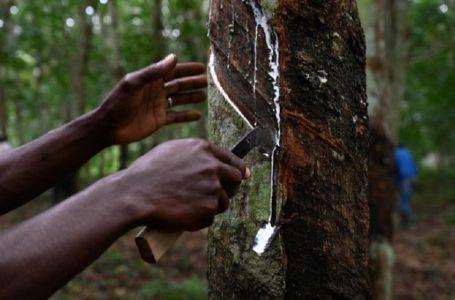 La Côte d'Ivoire 1er producteur de caoutchouc en Afrique, se retrouve désormais au 4e rang mondial