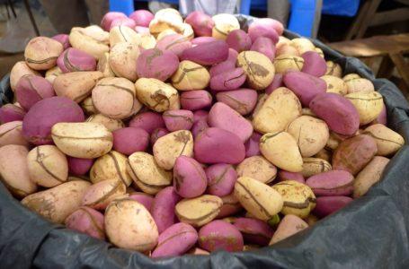 Explosion de la production de la noix de cola en Côte d'Ivoire