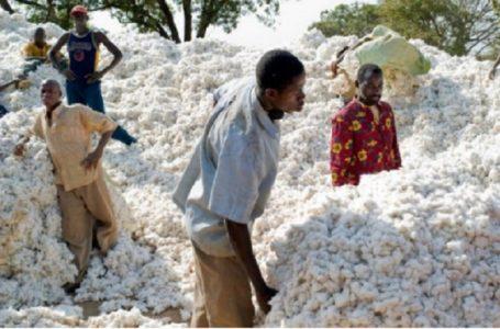 Togo/ Nouveau défis ; redynamiser le secteur cotonnier